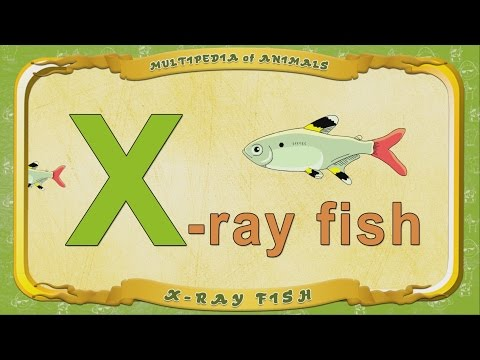 Multipedia Of Animals. Letter X - X Ray Fish