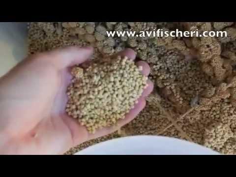 Alimentacion de mis Agapornis fischer - Avifischeri