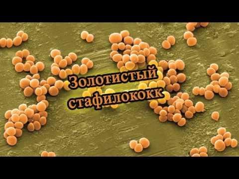Золотистый стафилококк | Staphylococcus aureus