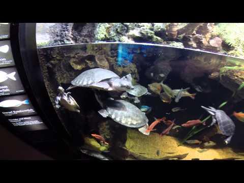Fly River Turtle and Sidenecks, TN  AQ