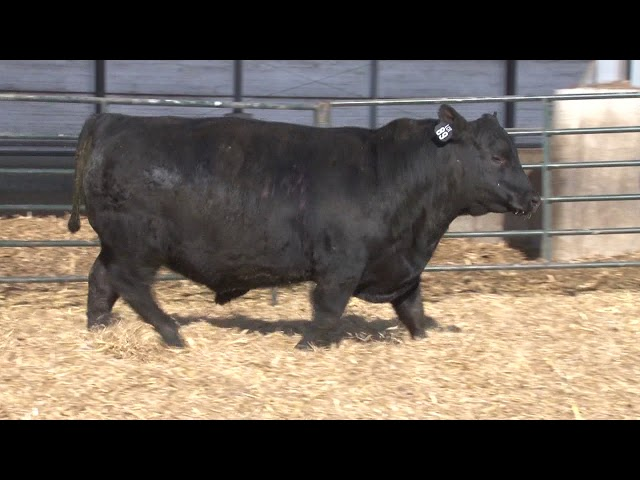 Schiefelbein Angus Farms Lot 89