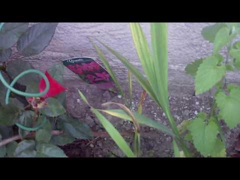 Опять Чёрный принц - любимая роза.