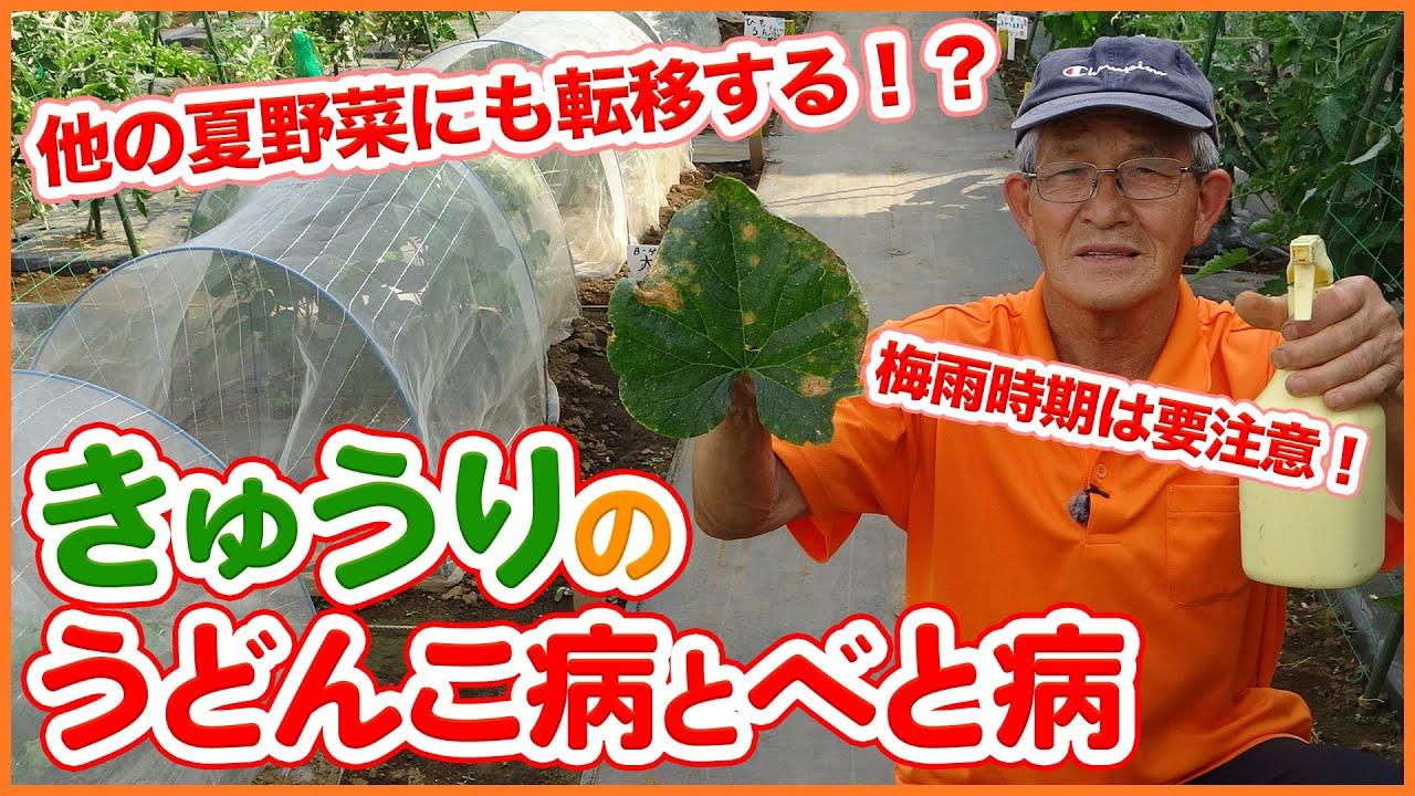夏野菜の天敵!キュウリの栽培なら要注意!うどんこ病とべと病の対策!重曹液と葉のカットで対策!梅雨の時期は要注意【家庭菜園】【スイカ】【ウリ】【カボチャ】