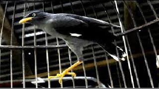 Video Kicau Burung Jalak Kebo