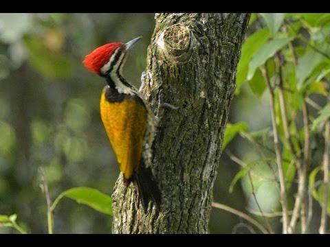620+ Foto Gambar Burung Pelatuk Bawang  Paling Keren Gratis