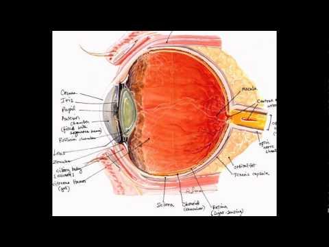 The Human Eye Information