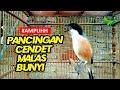 Masteran Burung Cendet Untuk Melatih Memancing Dan Merangsang Cendet Gacor Ngerol Nembak Kasar  Mp3 - Mp4 Download