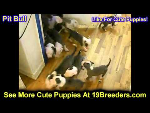Pitbull, Puppies, For, Sale, In, Kearney, Nebraska, NE, Fremont, Hastings