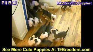 Pitbull, Puppies, For, Sale, In, Kearney, Nebraska, Ne, Fremont, Hastings