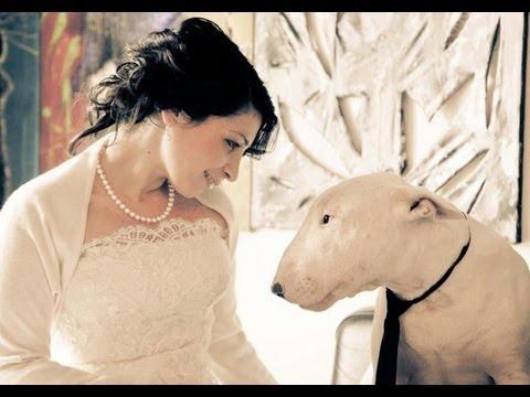 La realidad sobre el Bull Terrier- ¡ATENCIÓN! Perro potencialmente ...