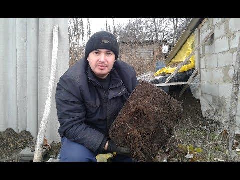 Вопрос: Как глубоко малина пускает корни?