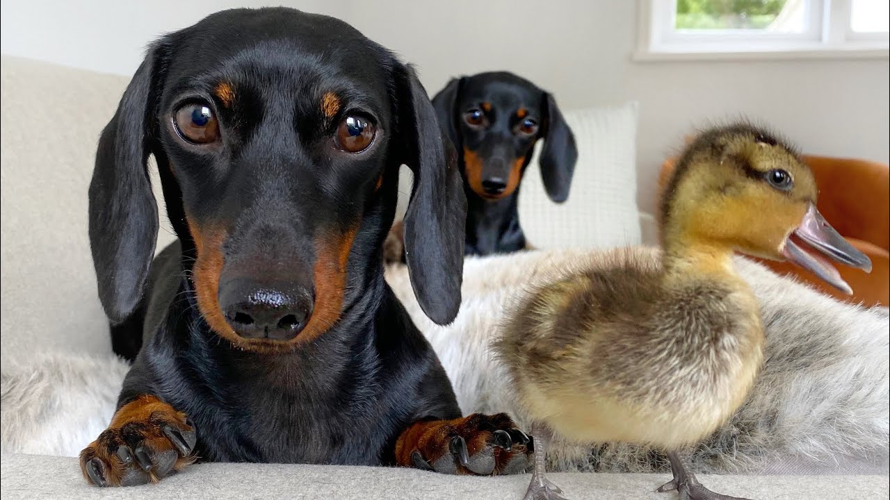 Loulou, Coco & the ducklings.