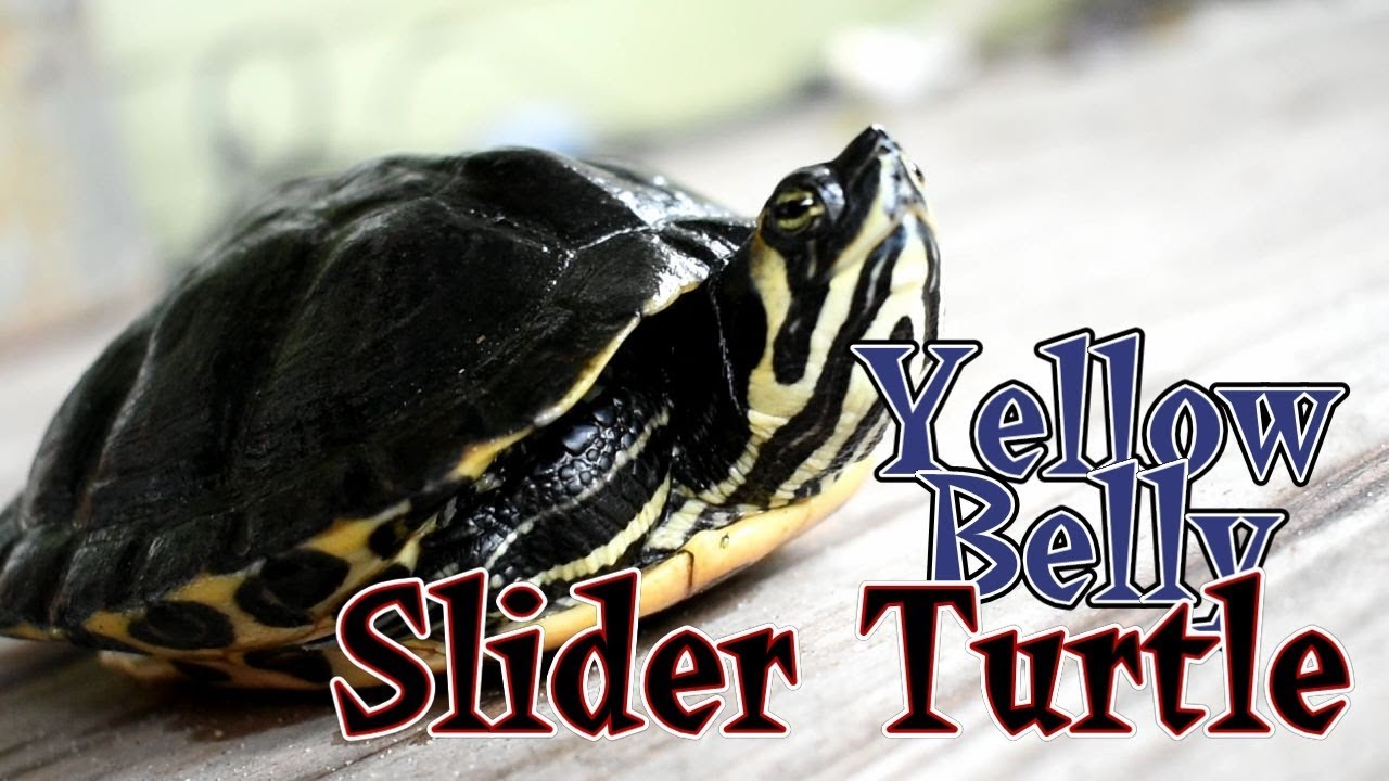 Yellow-bellied Sliders (Trachemys scripta scripta) Care and