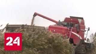 С голоду не умрем: на Кубани вырастили рекордный урожай риса