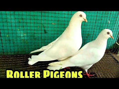 Roller tumbler pigeon Bangalore   FunnyCat TV