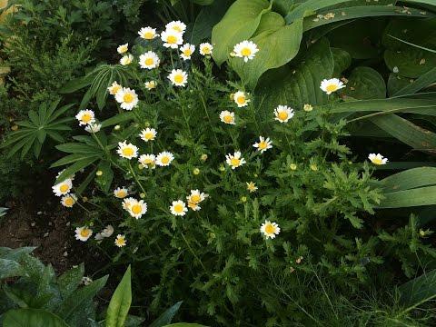 Хризантемы из семян.
