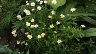 Хризантемы из семян.(Выращивание хризантемы из семян. От семечка до цветения!, 2016-10-28T06:34:29.000Z)
