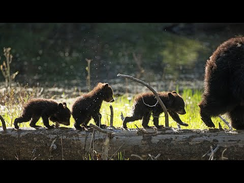 Yellowstone Black Bear Cubs: Rosie's Brood