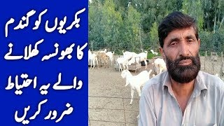 Feed Of Goat In Pakistan | goat feed formula | best Feed for goats | goat food management