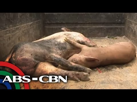 'Sobrang lugi': Hog raisers sa QC idinaing ang pagpatay sa halos 2,000 baboy | TV Patrol