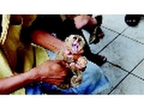 Slow Loris Animal Cruelty | Crimes Against Nature