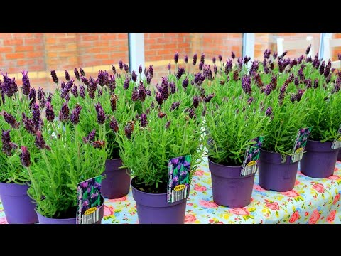 How To Grow Lavender | French Lavender 薰衣草的种植方法- YouTube