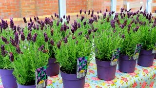 How To Grow Lavender | French Lavender 薰衣草的种植方法