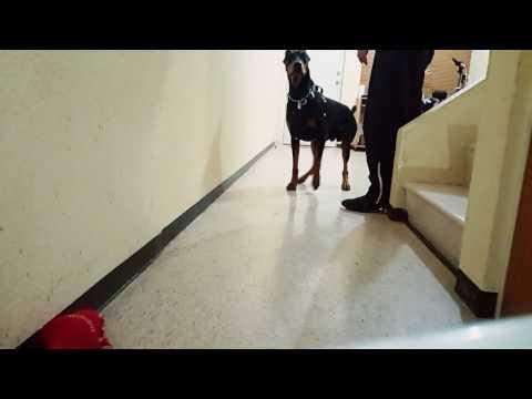 Doberman vs cat dog vs cat humor | FunnyDog TV