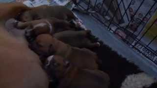 Yazash Staffordshire Bull Terrier Puppies For Sale