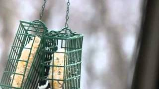 Busy Suet Feeder with a Flicker and other Woodpeckers