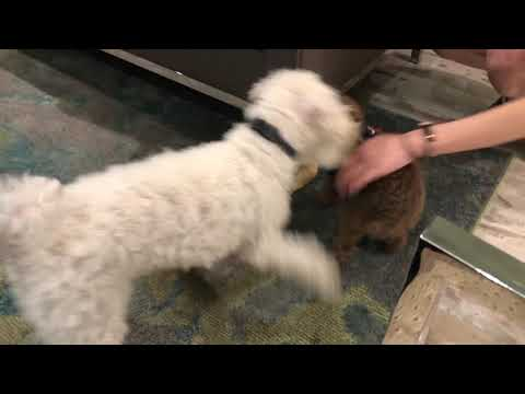 1-Year/2-Month Old Miniature Poodle and 5-Month Old Toy Poodle Puppy Both Wanting Cow Ear Chew Toy