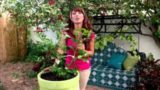 Cultivando Cítricos: Como Plantar Limones en Macetas con Tierra para Macetas de Miracle-Gro