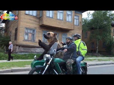 В Архангельске огромный медведь прокатился на мотоцикле