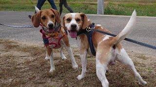 ビーグル #うぃるさん #Beagle 先週の土曜日に… いつもご視聴して下さ...