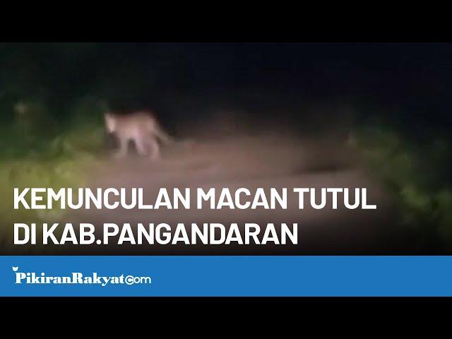 Detik-detik Kemunculan Macan Tutul di Kabupaten Pangandaran, Jawa Barat