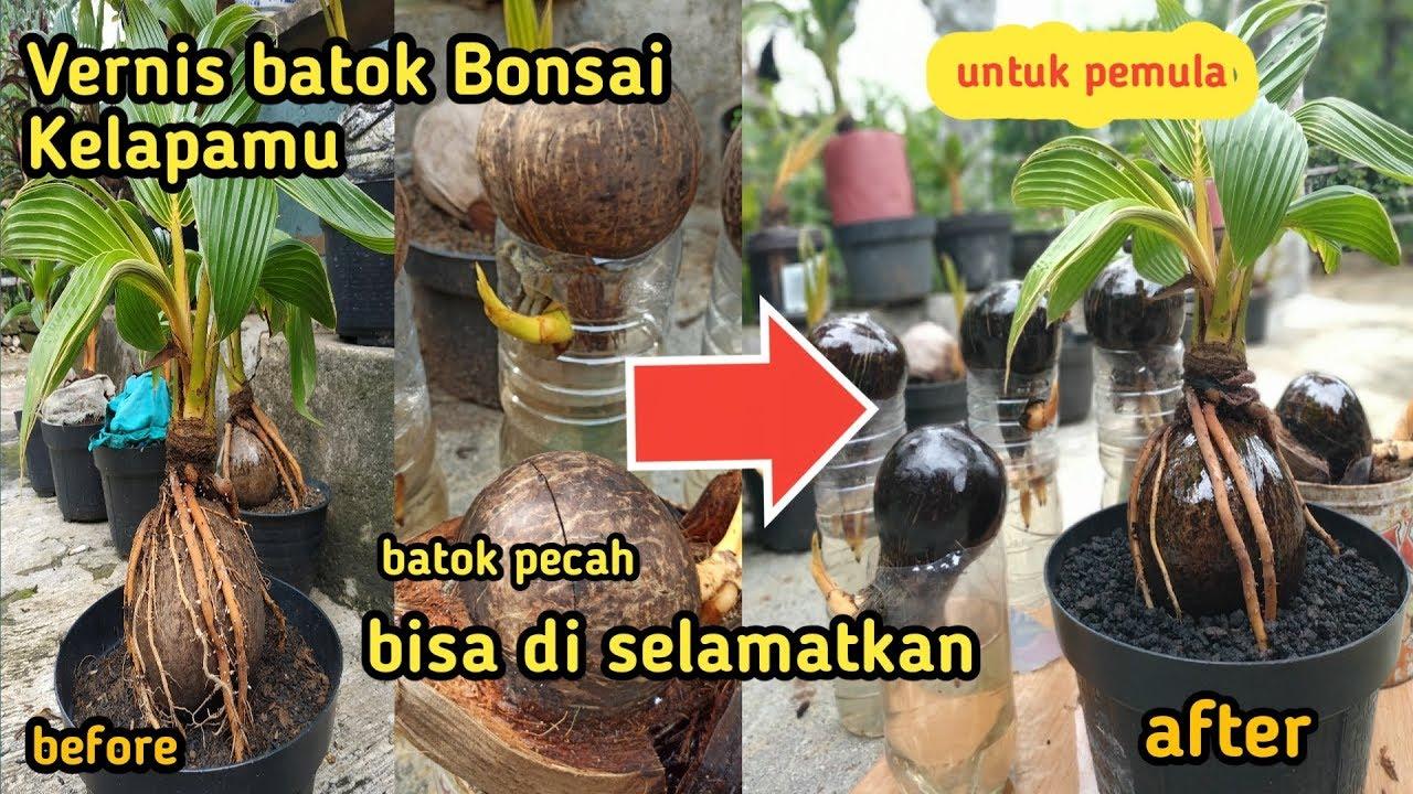 Cara Pemernisan Batok Bonsai Kelapa Cara Mencegah Agar Batok