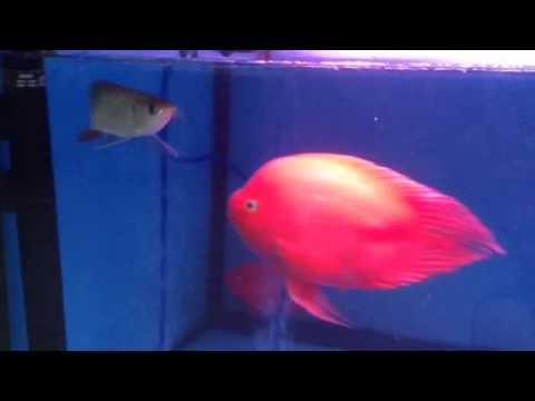 """ขายปลามังกรแดง Super red  ขนาด 6""""-7""""ราคา 13500 ..."""