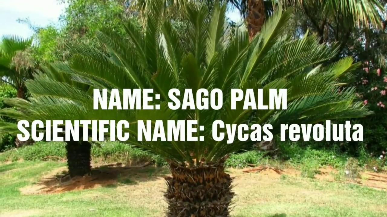 Scientific Names Of Gymnosperm Plants Plants Common And Scientific