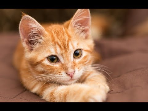 chats roux red cats youtube. Black Bedroom Furniture Sets. Home Design Ideas