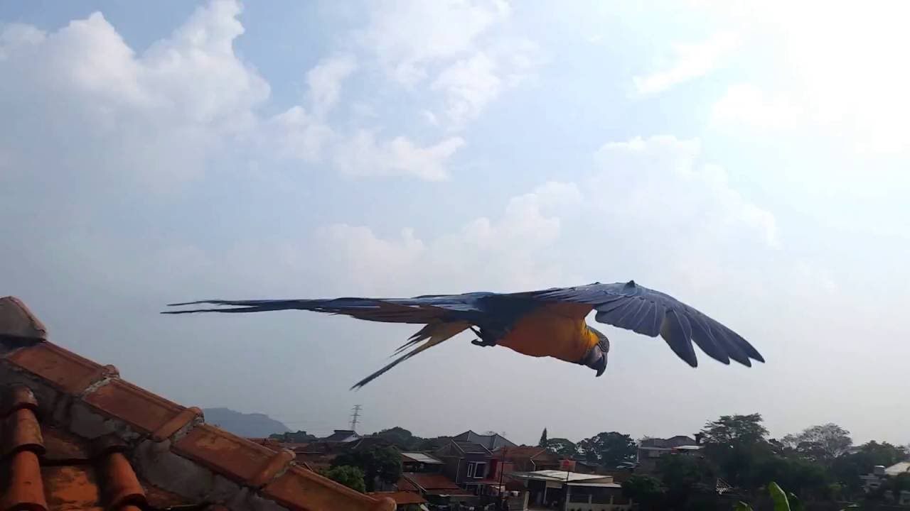 parrot van java blue and gold macaw patagonian conure free