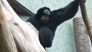 Un singe hurleur.