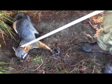 Releasing A Grey Fox From A Leg Hold Trap