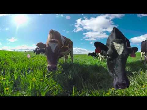 Cows Dancing in 360!
