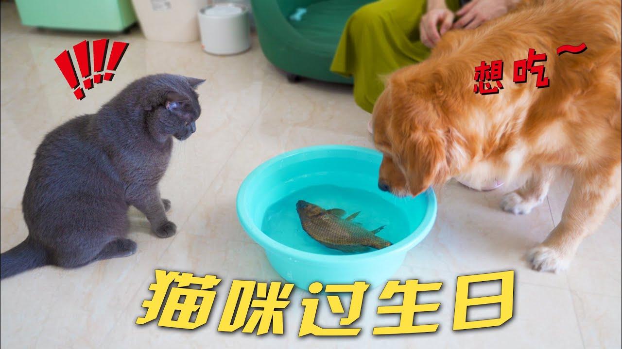 猫咪两岁生日,主人给它买了一条活鱼!大金毛一脸羡慕
