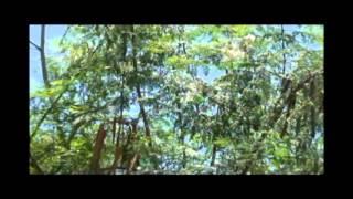 Moringa Pye Bwa Lavi