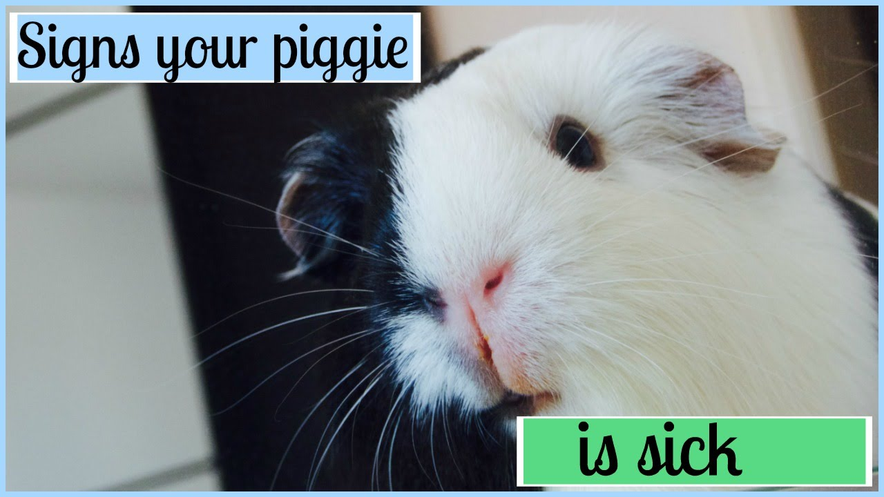 Signs Your Guinea Pig Is Sick