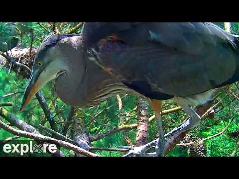 Chesapeake Conservancy Great Blue Herons powered by EXPLORE.org