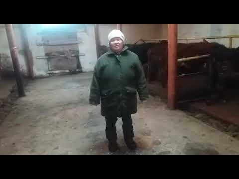 Псороптоз у коров (крс)