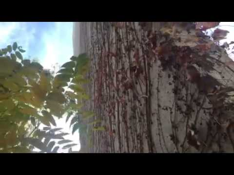 Ivy, Trees, and Architecture at Esri Redlands