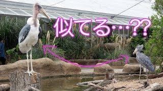 神戸どうぶつ王国のボンゴとマリンバのご近所さん、アフリカハゲコウの...